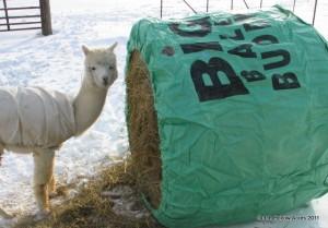 Round Bale Feeder Big Bale Buddy Alpaca