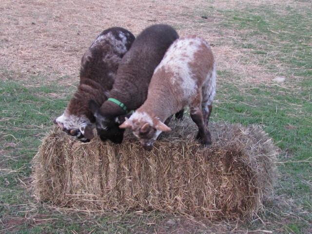 fiber arts friday hog island sheep alpacabytes dutch hollow acres
